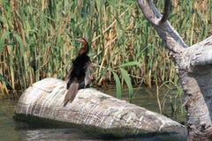 Darter bird Stock Image