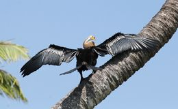 Darter bird on a tree Royalty Free Stock Photography