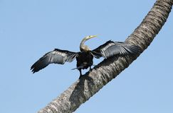 Darter bird on a tree Stock Photo