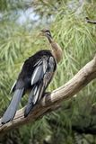 A darter on a branch. The darter is on a branch resting stock photo