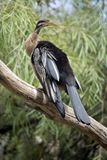 A darter on a branch. The darter is on a branch resting stock image