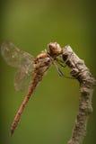 Darter comum Draonfly Foto de Stock Royalty Free