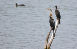 Darter with cormorant bird. Darter and cormorant bird standing on the dry branch of tree in lake water. very beautiful and natural view. this place is menar lake stock images