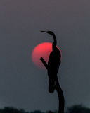 Darter dans le coucher du soleil Images stock