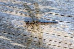 Darter del terreno comunale della femmina della libellula Fotografie Stock Libere da Diritti