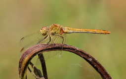 Darter do sul (meridionale de Sympetrum) foto de stock royalty free