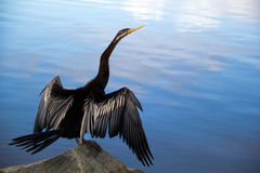 Shag - Darter. Shag / Darter drying wings on rocks overlooking blue tones in water Royalty Free Stock Photography