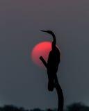 Darter en la puesta del sol Imagenes de archivo