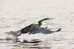 Darter flying along choebe river Royalty Free Stock Image
