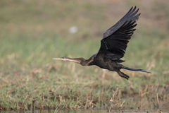 Darter flying at takeoff Royalty Free Stock Images