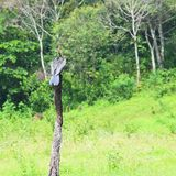 Darter indio - Darter oriental - Anhinga Melanogaster - pájaro que se sienta en la madera en el parque nacional de Periyar, Keral imagen de archivo libre de regalías