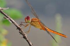 Darter o fonscolombii Rojo-veteado libélula de Sympetrum Fotografía de archivo libre de regalías