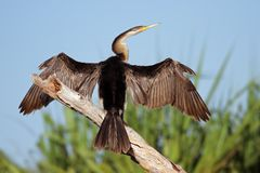 Darter with open wings. Darter (Anhinga melanogaster) sitting with open wings, Yellow water billabong, Kakadu National Park, Australia royalty free stock images
