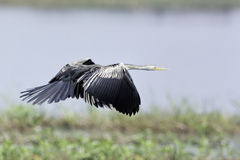 Darter oriental volant au-dessus du marais photographie stock