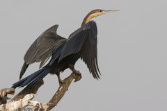 Darter on perch Stock Images