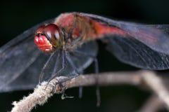 Darter Ruddy da libélula (sanguineum de Sympetrum) imagem de stock royalty free