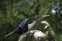 Darter or snakebird, anhinga, wildlife in Costa Rica Royalty Free Stock Photos