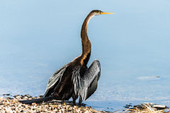 Darter or Snakebird Stock Image