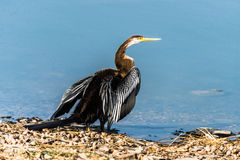 Darter or Snakebird Royalty Free Stock Photography