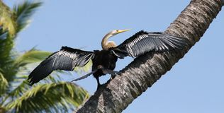 Darter on a tree Royalty Free Stock Photos