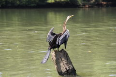 Darter on a tree trunk Royalty Free Stock Photo