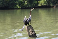 Darter on a tree trunk Royalty Free Stock Image