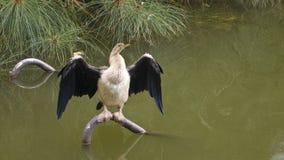 Darter-trocknende Flügel Stockfoto