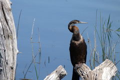 Darter. This Darter waterbird  was   photographed   in  Pilanesberg National  park  at  Manke   dam Stock Photo