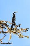 Darter. In the wild on the island of Sri Lanka stock photos