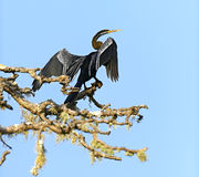 Darter. In the wild on the island of Sri Lanka stock images