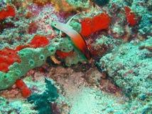 Dartfish огня, живая природа в Indopacific стоковая фотография rf