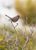 Dartford Warbler with caterpillar Royalty Free Stock Photo