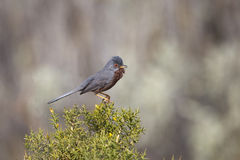 Dartford Warbler singing on Gorse Stock Images
