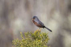 Dartford Warbler singing on Gorse. A male Dartford Warbler (Sylvia undata) perched on a Gorse bush, singing, against a blurred natural background Royalty Free Stock Photo