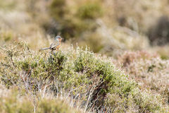 Dartford warbler (Sylvia undata) Stock Photos