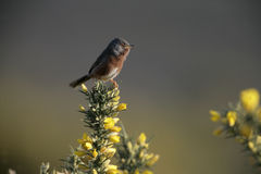 Dartford warbler, Sylvia undata, Royalty Free Stock Photo