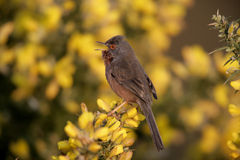 Dartford warbler, Sylvia undata, Royalty Free Stock Photos