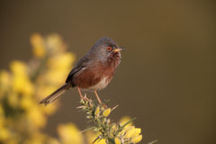 Dartford warbler, Sylvia undata, Stock Photo