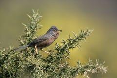 Dartford warbler, Sylvia undata, Stock Images