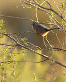 The Dartfort Warbler Stock Photography