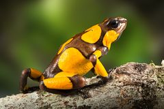Dartfrog or harlequin poison dart frog, Oophaga histrionica. A poisonous animal from the rain forest in Colombia. Jungle amphibian with bright yellow warning stock photos