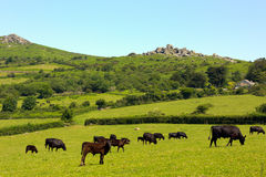 Dartmoor动物和突岩德文郡英国 免版税库存图片