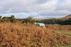 Dartmoor在Burrator附近的秋天 免版税库存照片