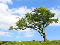 dartmoor夏天结构树 免版税图库摄影