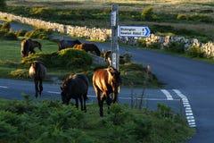 Dartmoor小马牧群 免版税库存图片