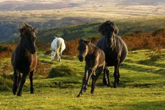 Dartmoor小马 免版税库存照片