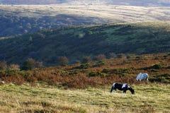 Dartmoor小马 免版税库存图片