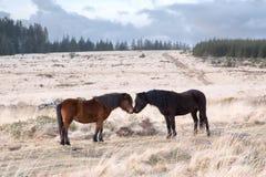 Dartmoor小马bellever突岩dartmoor 免版税库存图片
