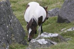Dartmoor母马和驹 免版税库存照片