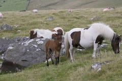 Dartmoor母马和驹 库存照片